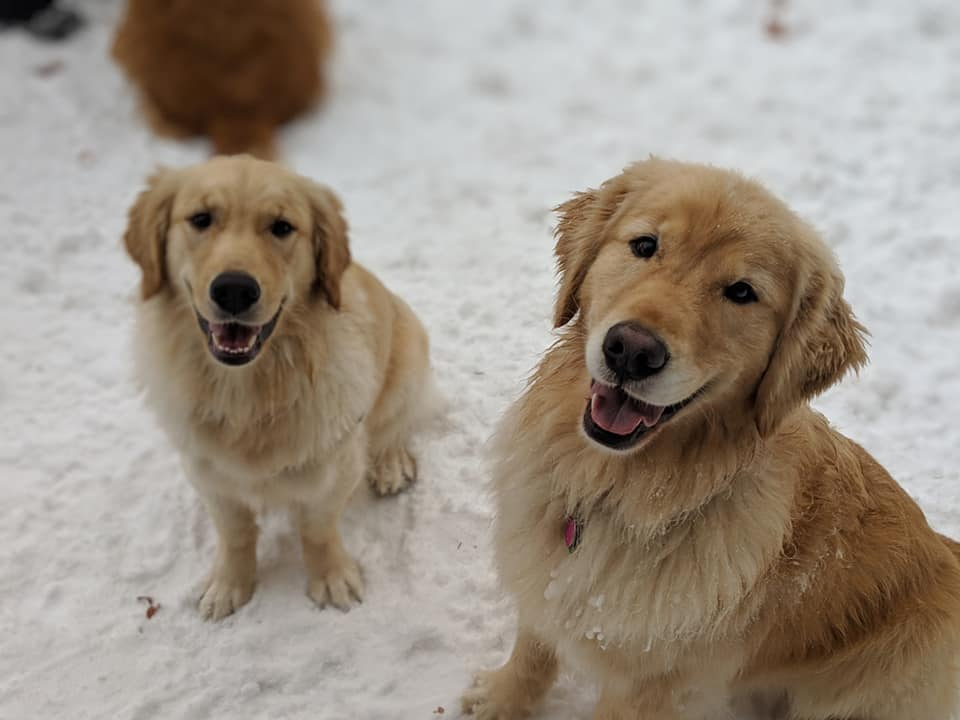 Of Purdy S Cottage Golden Retrievers