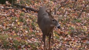 Deer Footage New.mov